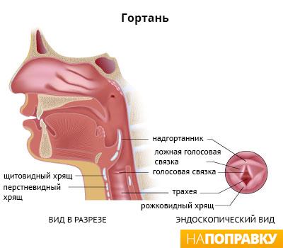 сагиттальный и эндоскопический вид гортани