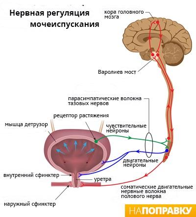 Нервная регуляция мочеиспускания (схема)