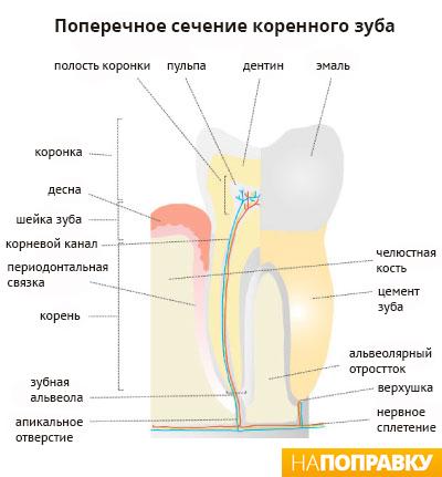 поперечное сечение коренного зуба