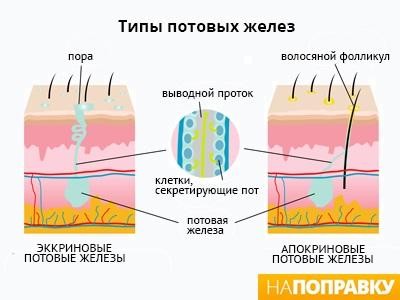 Схема строения эккриновых и апокриновых потовых желез