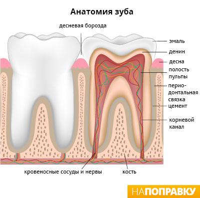 анатомия зуба.jpg